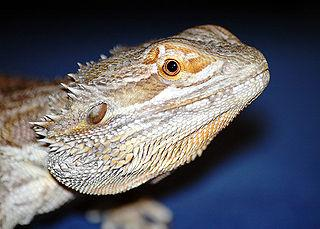 raising bearded dragons for sale